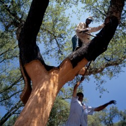 Cork Tree Being Harvested