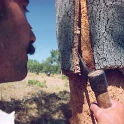 Raw Cork Harvesting Process